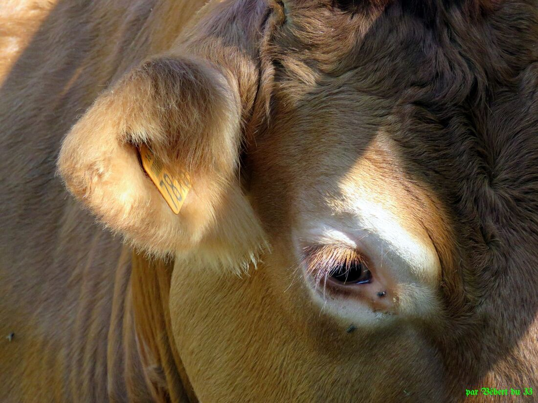 une vache qui  ...