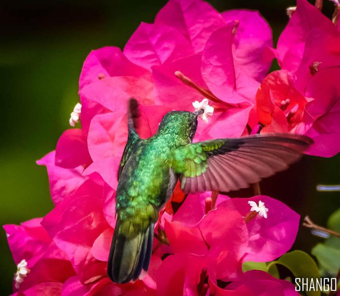 Colibris Martinique