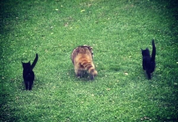 raton laveur chats