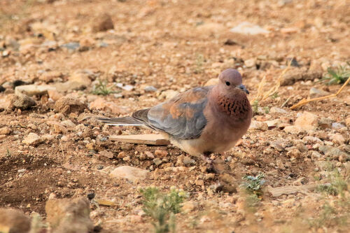 Tourterelle maillée (Laughing Dove)