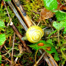 Cepaea Nemoralis ou Escargot des Bois