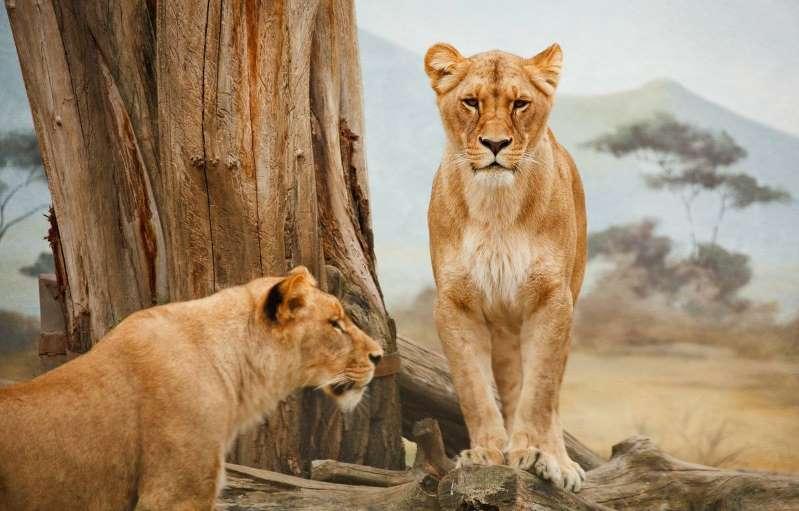 Afrique du Sud : Plus de 340 kg d'os de lions saisis à l'aéroport de Johannesburg
