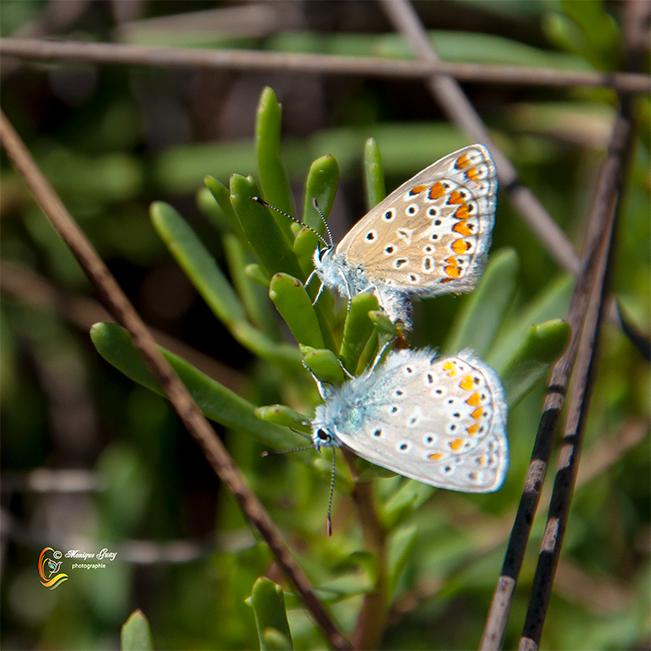 Doublé de papillons Azuré