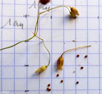 Stellaria graminea  - stellaire à feuilles de graminée