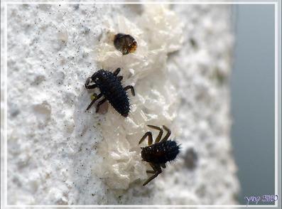 Ponte et naissances de Coccinelles à sept points (Coccinella septempunctata) - La Couarde-sur-Mer - Île de Ré - 17