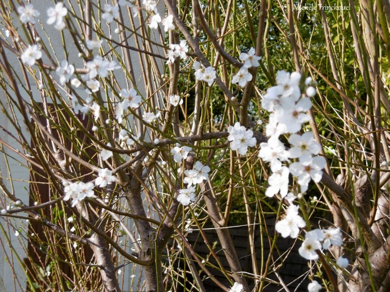 Une balade fleurie dans mon village, le 22 février....