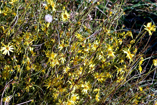 Petites fleurs jaunes