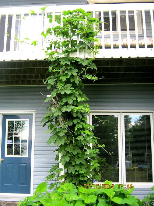 J'adore le houblon...