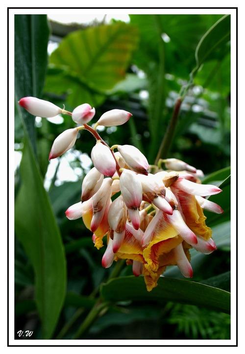 Gingembre coquillage ( Alpinia zerumbet )