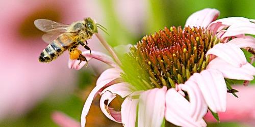 La stratégie d'atterrissage de l'abeille ..