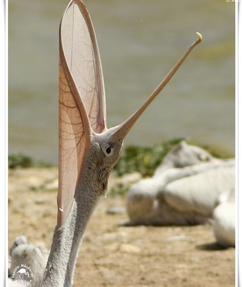 Pélican à dos rosé (Pelecanus rufescens)