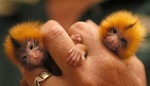 Singe pygmé