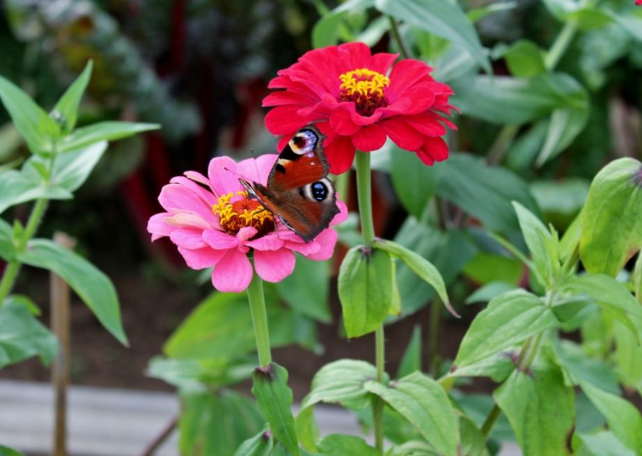 Au jardins les zinnias