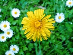 Plantes mal aimées : Pissenlit, Ortie, Lierre