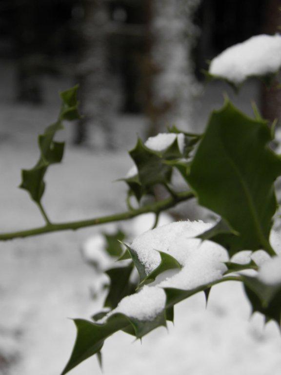 Houx sous la neige