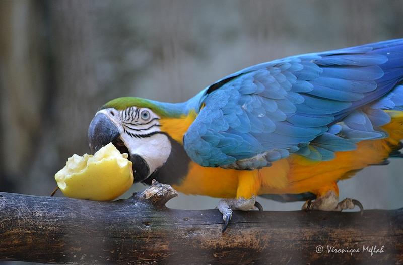 La Ménagerie du Jardin des Plantes : L' Ara bleu et jaune