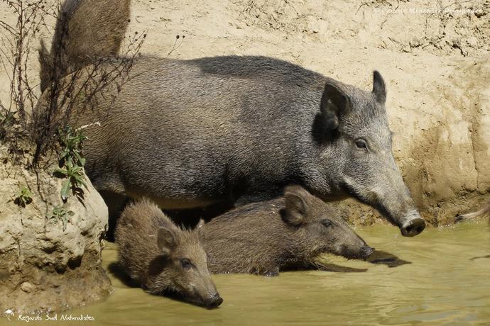 Famille de Sangliers à la baignade
