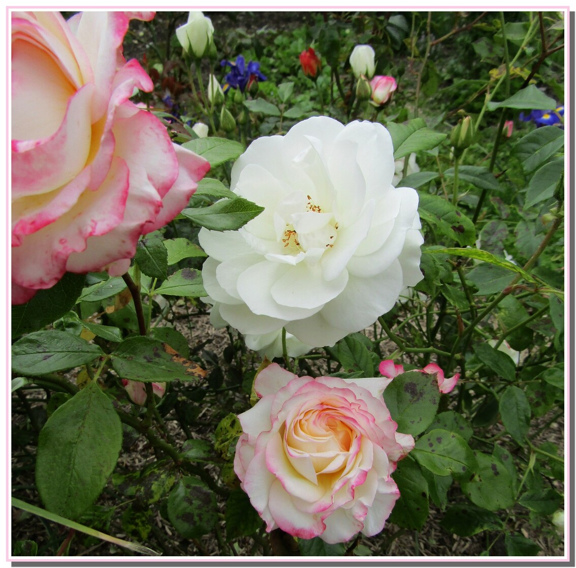 LES   ROSES   BLANCHES  2017