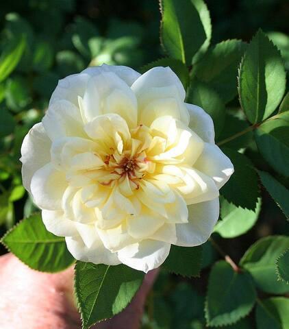 Virginian hybrids : les roses du futur