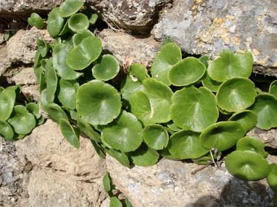 plantes-sauvages-nombril