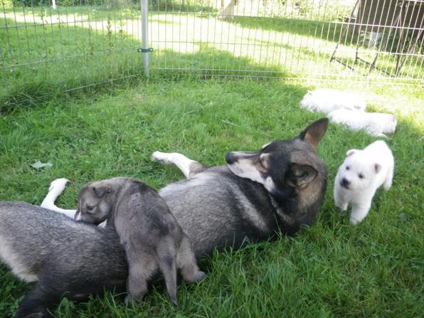 4 semaines: Les chiots et la meute