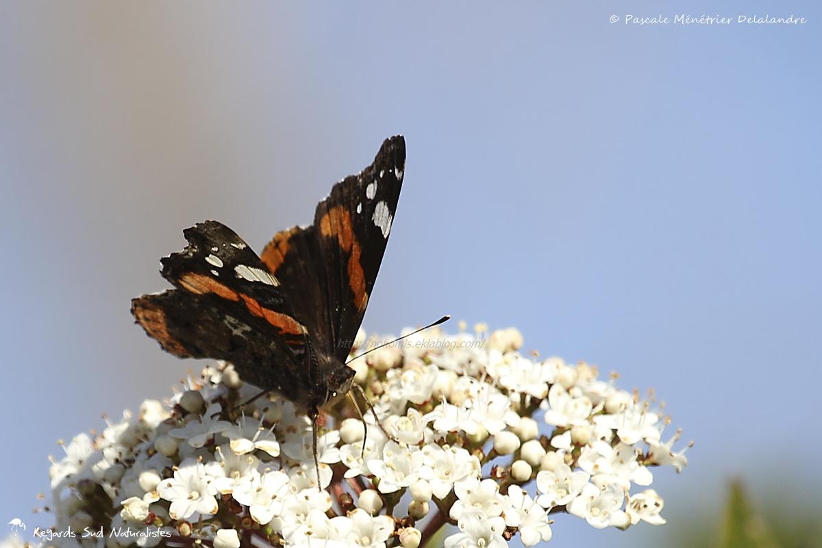 Vulcain - Vanessa atalanta - Nymphalidae