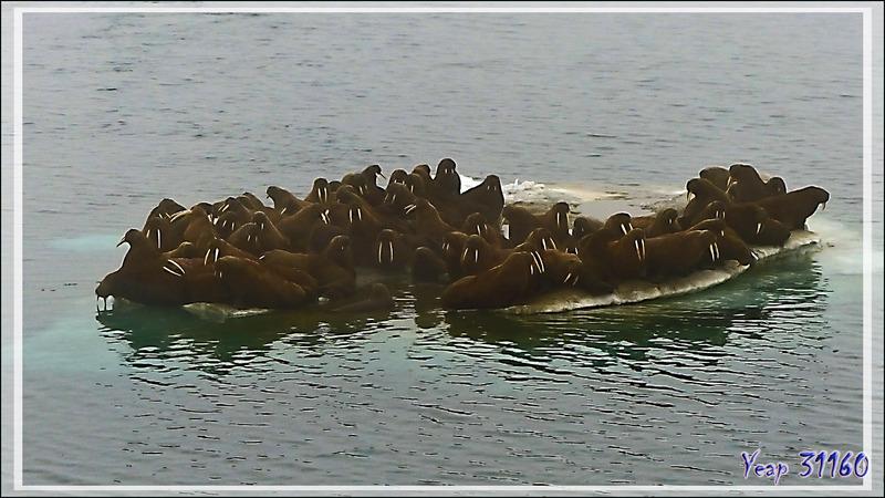 Débandade chez les Morses, Walrus (Odobenus rosmarus) - Mer des Tchouktches - Alaska