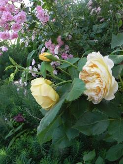 Choisir un rosier