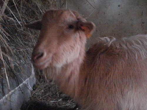 Caramelle la chèvre sans cornes