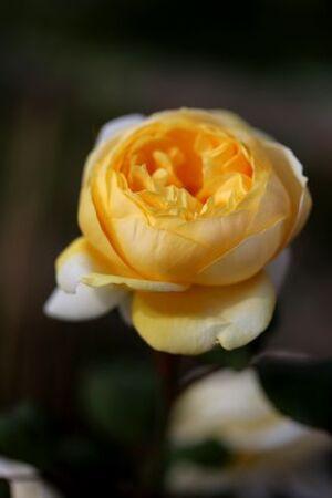 Les Roses de Warren : Hilda Sophia Lehmann