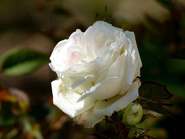 Rose blanche ourlée rose 2