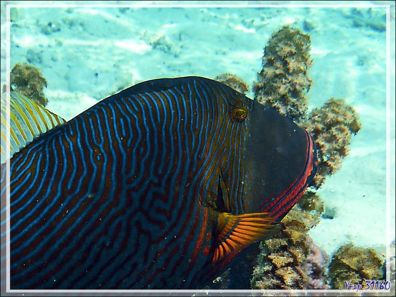 Baliste strié ou ondulé (Mâle), Orange-lined or Undulate triggerfish (Balistapus undulatus) - Jardin de Corail - Motu Tautau - Taha'a - Polynésie française