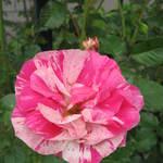 rose Concert de Poulsen