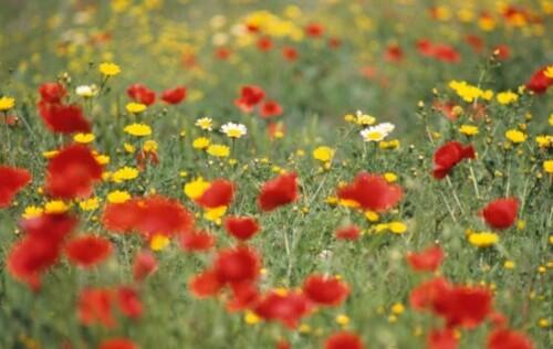 fleurs-des-champs.1239445695