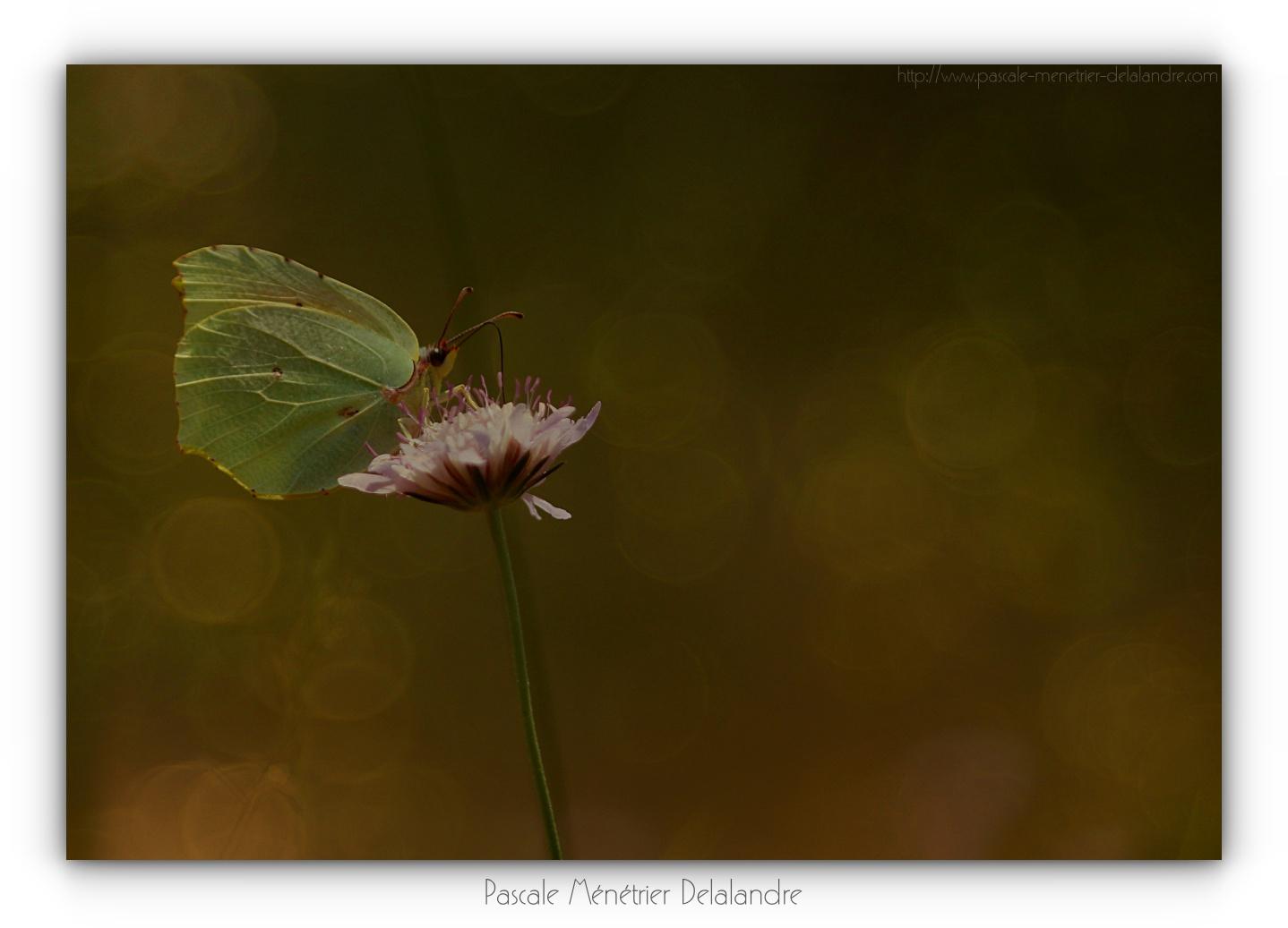 Jeux de lumières en proxi sur les Citrons de Provence  (Gonepteryx cleopatra) - Pieridae