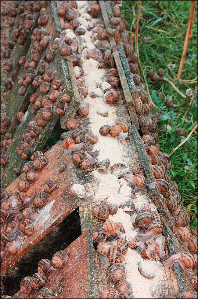 bretagne-Goulien-escargots-nourriture.jpg