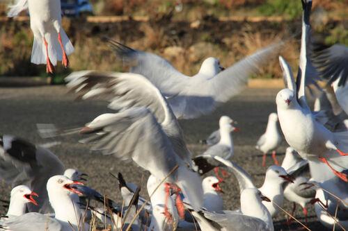 Mouette Argentée (Silver Gull) Australie