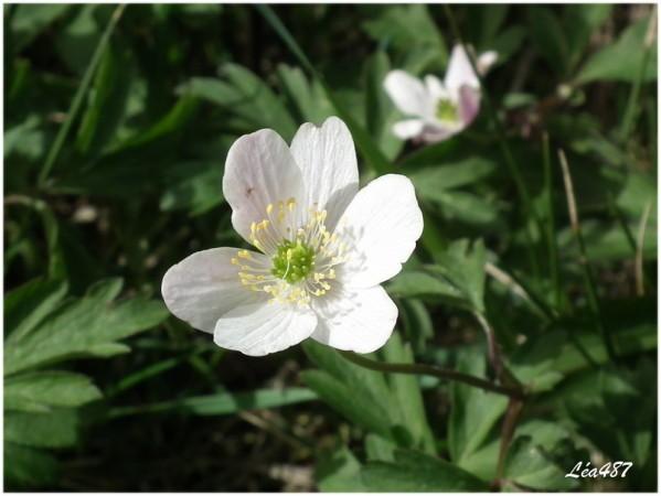 DSCF2580-anemone-Sylvie.jpg