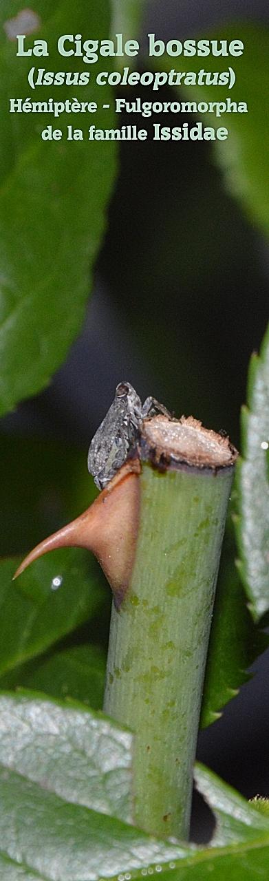 La Cigale bossue (Issus coleoptratus) Hémiptère - Fulgoromorpha de la famille Issidae