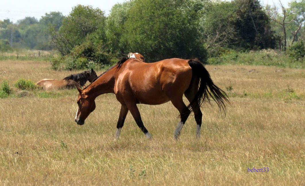 des chevaux ...