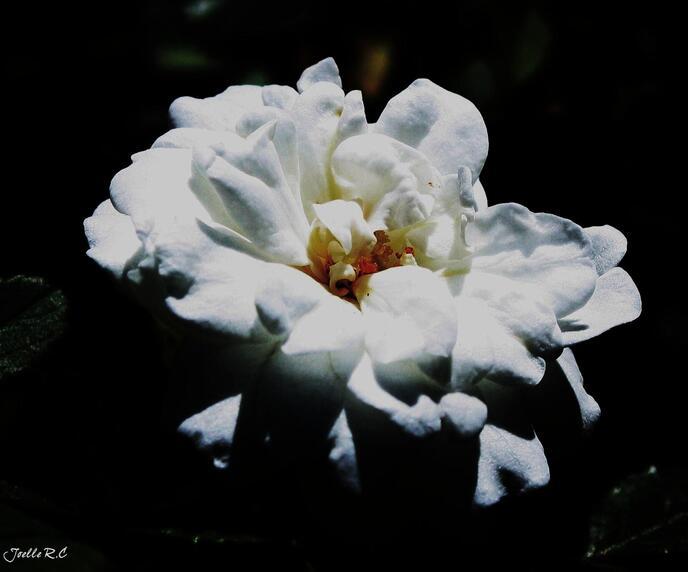 Rose pour toi