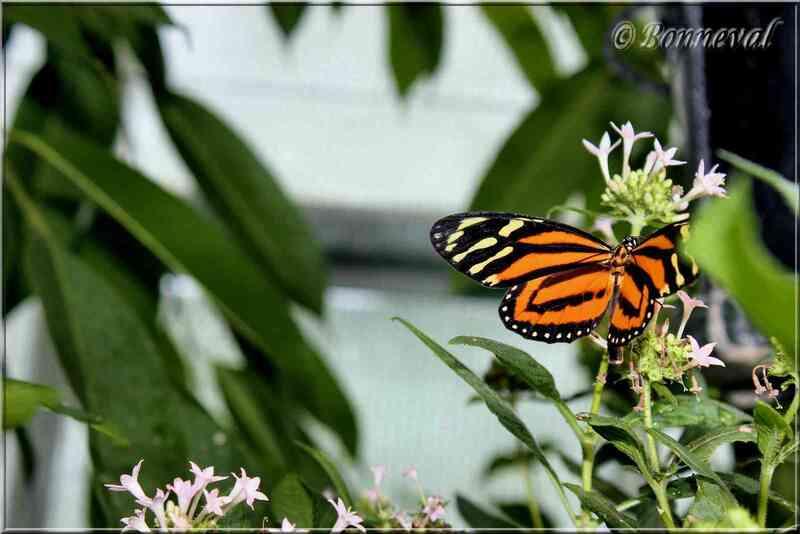 Papillons tropicaux Heliconius ismenius