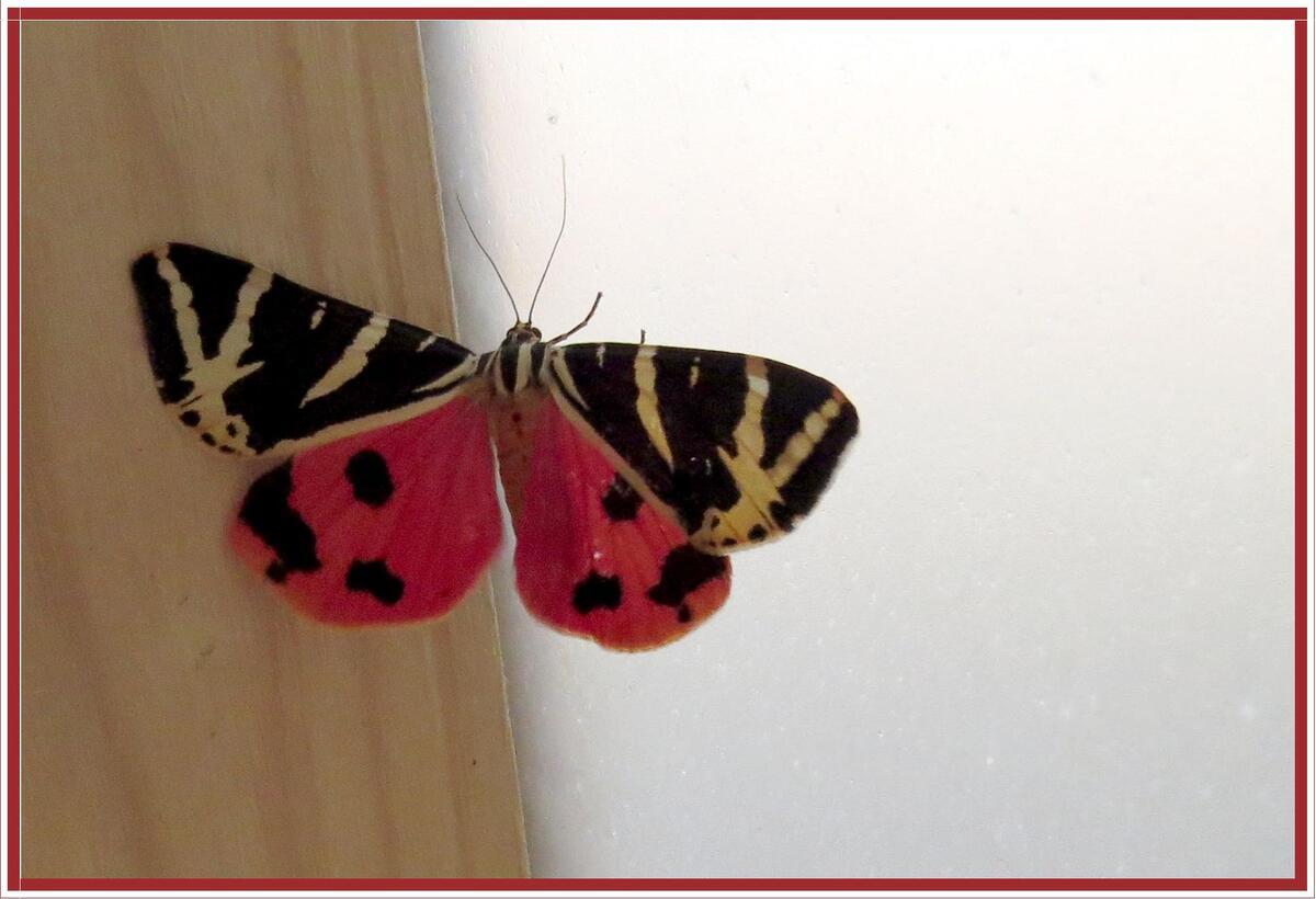 Papillon Callimorpha quadripunctaria