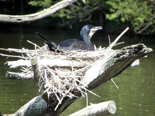 Parc Ste Croix cormoran
