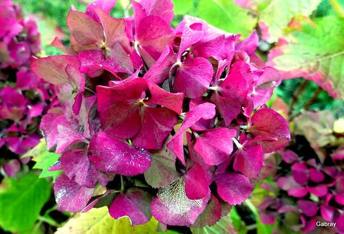 Mes hortensias en automne