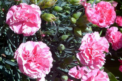 Les fleurs de l'œillet
