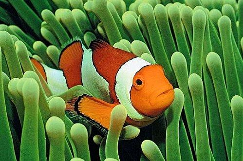 cachette-poisson-clown- www.linternaute.com