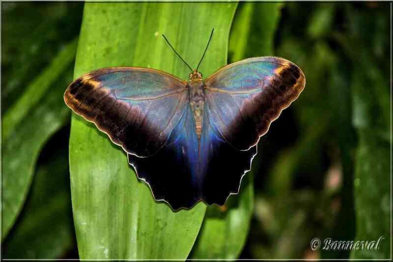 Papillons tropicaux Caligo placidianus Nymphalidae