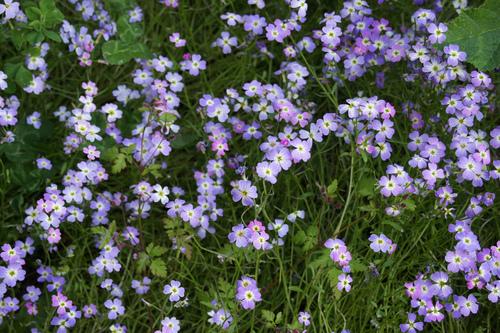 Fleurs cultivées : Julienne de Mahon