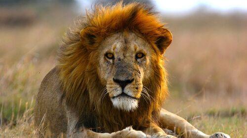 20 000 lions seulement dans la nature